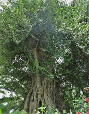 Uralte Olivenbäume.
