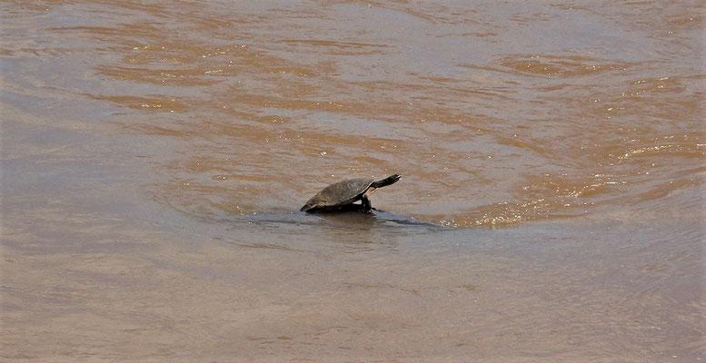 Argentinische Schlangenhals Schildkröte.