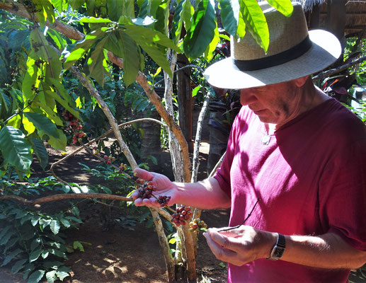 Der Kaffee Baum mit den Früchten.....