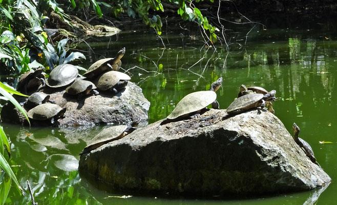 Schildkröten im Teich.