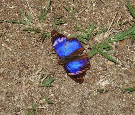 .....und ein blauer Schmetterling....