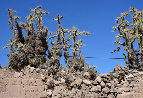 Ein Kaktus mit.....