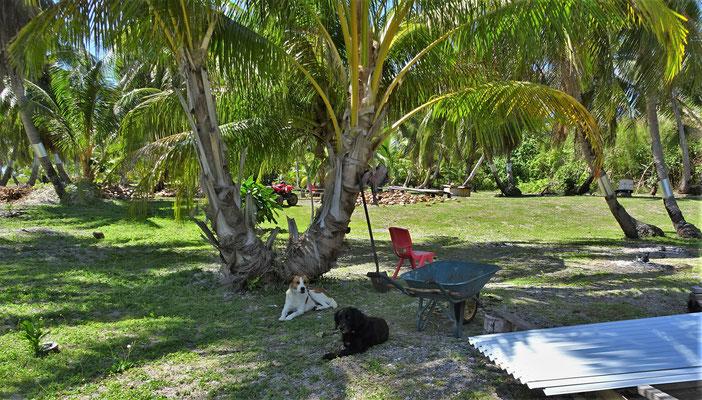 Die Kokosnüsse werden gesammelt.....