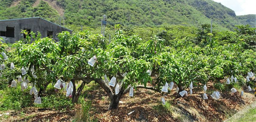 Mangoplantagen unterwegs.....