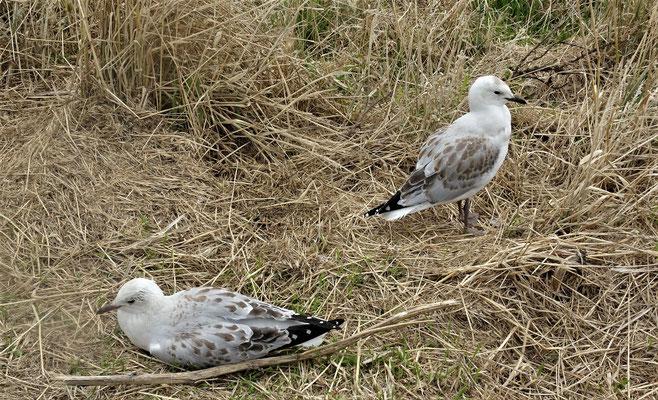 Die kleine Ausführung der Albatrosse.......Möven ☺