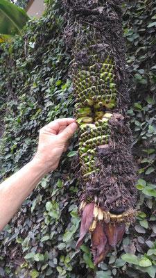 ...hängt diese lange Bananenstaude.