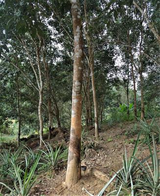 Gummibaum Plantage.....