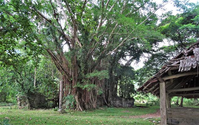 Banyan Baum mit Unterstand.....