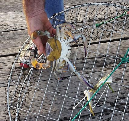 Dieses Weibchen trägt die Eier mit sich und muss wieder ins Meer geworfen werden.