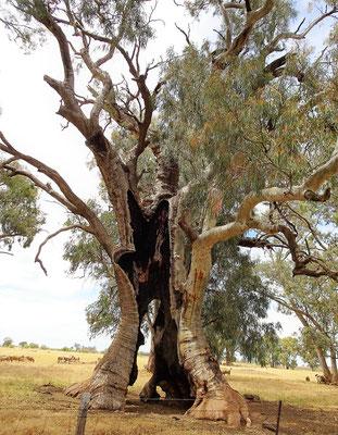 .....ausgehöhlte Bäume...