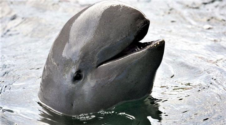 Die 3 letzten Irawady Delfine....