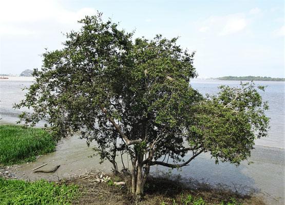 ......auf diesem Baum dahinter...
