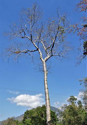 Ein Pohon Madu Baum (Honigbaum).....