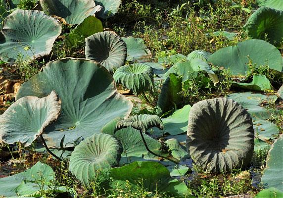 Viele Wasserpflanzen und Lotusblumen.