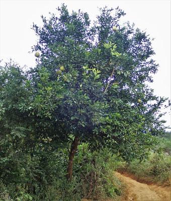 Ein Grapefruit Baum....