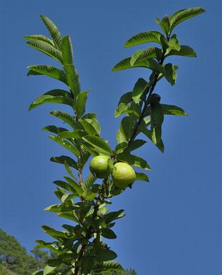 Der Guavebaum