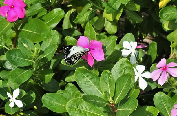 Shmetterlinge bei den.....
