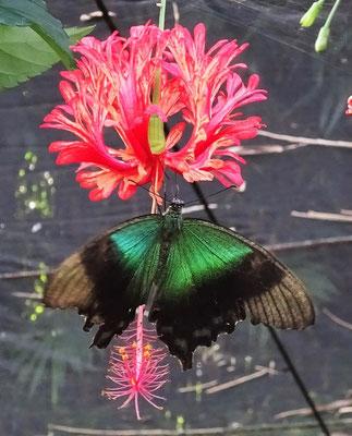 .....den unzähligen Schmetterlingen.