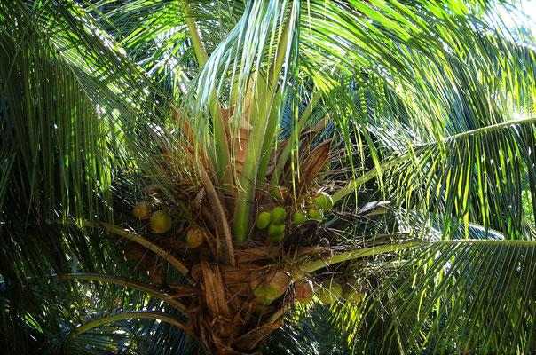 ....Palmenkronen von...