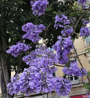 Die Jacaranda Blüte.