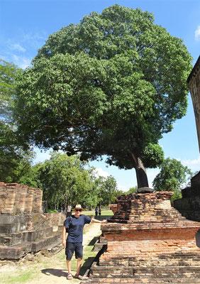 Ein riesiger Mangobaum.