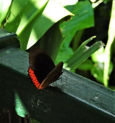 ....viele Schmetterlinge....