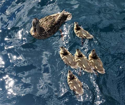 Diese Entenfamilie.....