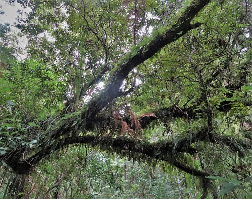 Im Waipoua Forest......