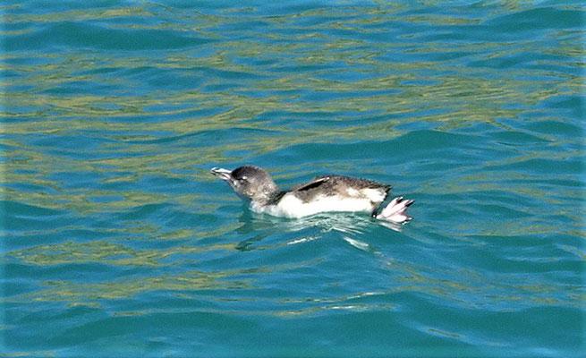 Die kleinsten Pinguine.