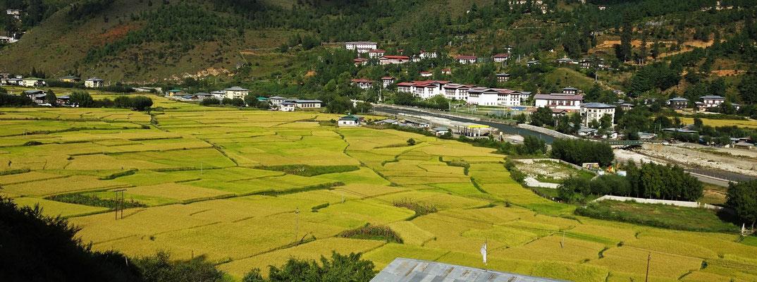 Die Reisfelder im Paro Tal....