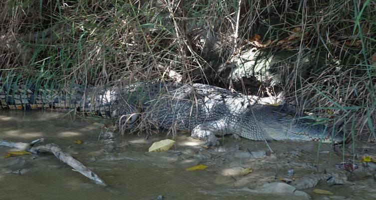 Hier gibt es Süss- und Salzwasse Krokodile.