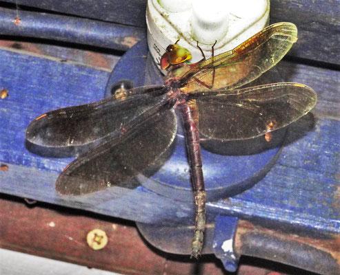 Besuch einer Libelle die....