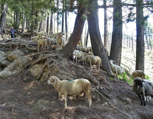 Schafe auf dem Weg zur Hochebene