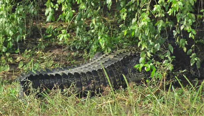 Dieses grosse Krokodil ist...