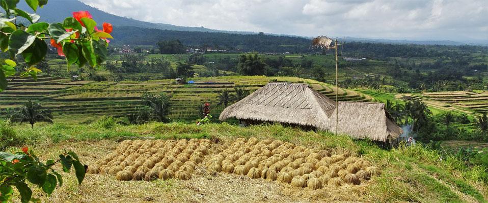 Hier wartet der Reis auf den Abtransport.