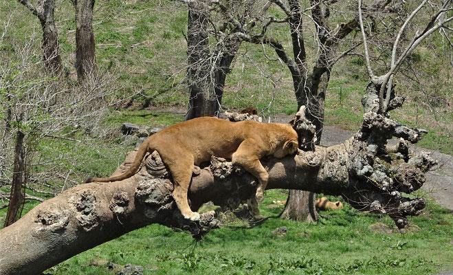 ....und dem faulen Löwen.