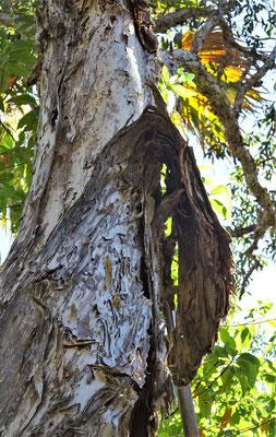 Baumrinde in vielen feinen Schichten.