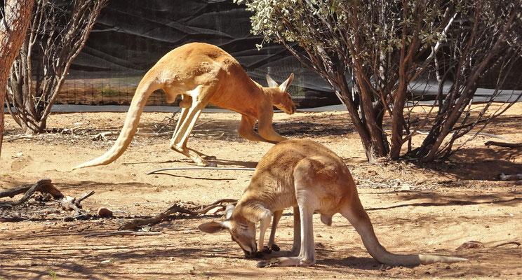 Das grosse Rote Känguru.