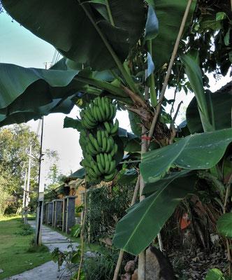 Und der Bananenbaum vor den Bungalows.