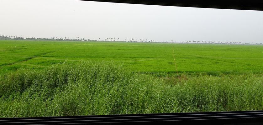 .....die grossen Reisfelder.