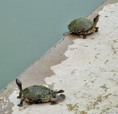 Schildkröten im heiligen Schwimmbecken