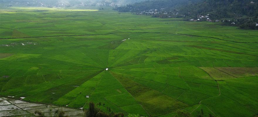 ...Spinnen-Netz-Reisfelder....