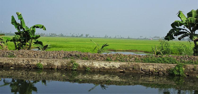 Die Reisfelder liegen...