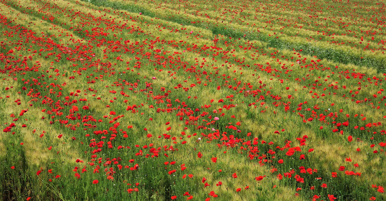 Kornfelder mit Mohnblumen......