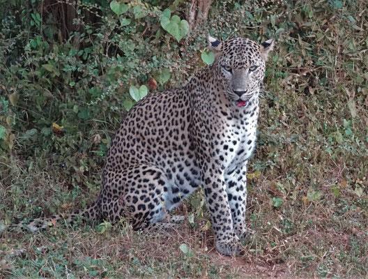 Die Leopardin mit...