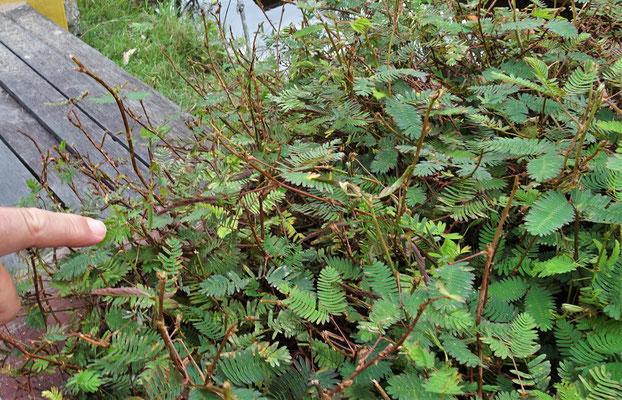 Diese Pflanze schliesst die Blätter bei Berührung.