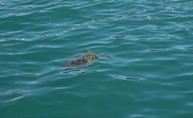 Eine Meeresschildkröte....