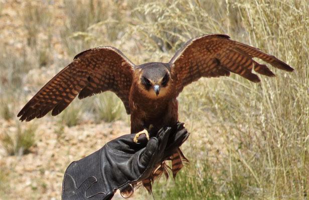 Der schnelle Falke