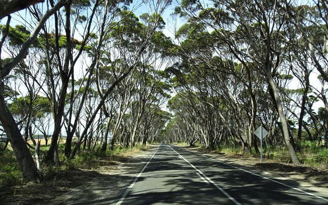 Eukalyptus Baumalee.