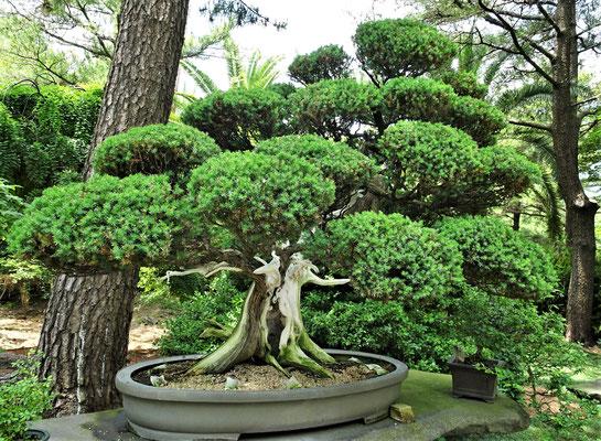 Der Bonsai Garten.